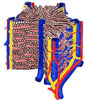 Struktura jaterního lalůčku